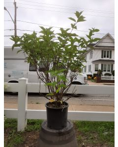 Baileyi Red Twig Dogwood