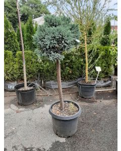 Blue Star Juniper Standard