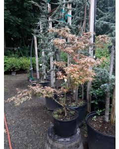 Geisha Japanese Maple