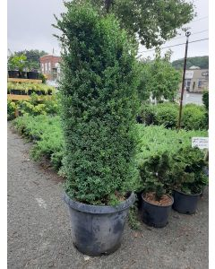 Common Boxwood Cylinder