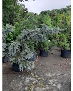 Weeping Colororado Blue Spruce