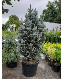 Upright Colorado Spruce