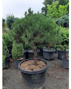 Dwarf Mugo Pine Standard