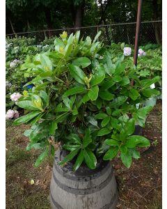 Minnetonka Rhododendron