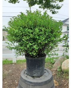 Little Princess Spirea