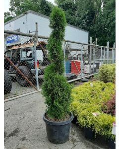 Emerald Green Arborvitae Spiral
