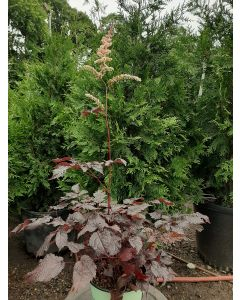 Chocolate Shogun Astilbe