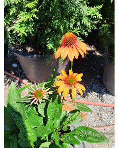 Cheyenne Spirit Cone Flower
