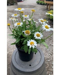 Leucanthemum x Superbbum 'Becky'