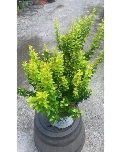 Golden Pillar Barberry