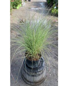 Morning Light Maiden Grass