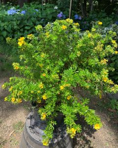 Gold Finger Potentilla