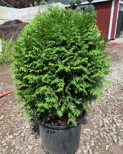 Little Giant Arborvitae