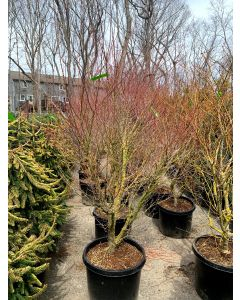 Beni Schichihenge Variegated Japanese Maple
