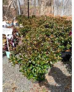 Girard's Fuchsia Azalea