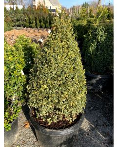 Varigated Common Boxwood Cone