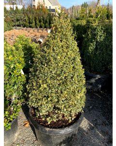 Varigated Common Boxwood Cone