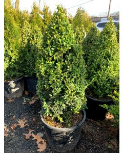 Green Mountain Boxwood Cone