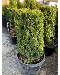 Green Mountain Boxwood Cylinder
