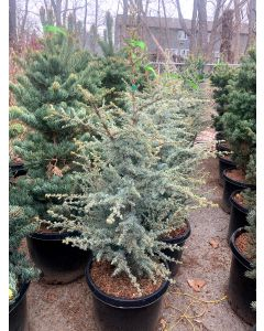 Hortsman Blue Atlas Cedar
