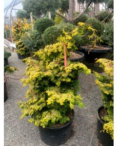 Golden Pillar Hinoki Cypress