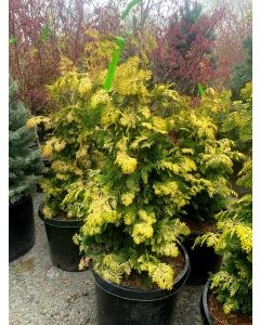 Golden Hinoki Cypress