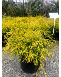 Gold Mop False Cypress