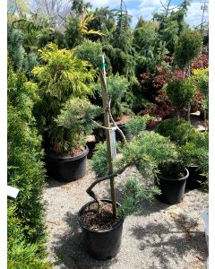 Pfitzer Juniper Topiary