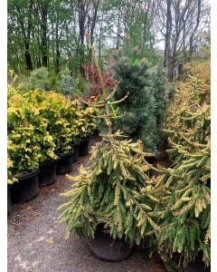Gold Drift Norway Spruce