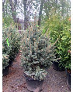 Upright Colorado Spruce