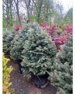Fat Albert Colorado Spruce