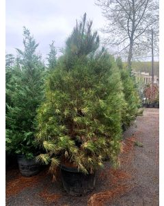 Burke's Red Variegated Japanese Red Pine