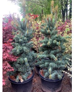 Cleary Japanese White Pine