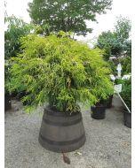 Goldthread Cypress