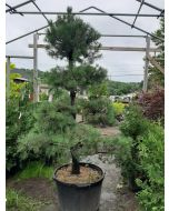 Scotch Pine Topiary