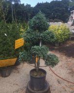 Boulevard Blue Moss Cypress pom pom