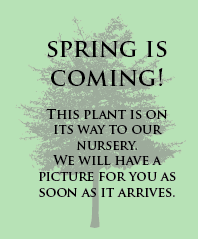 Upright Colorado Blue Spruce