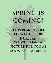 Rheingold Arborvitae Standard